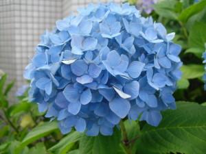 アジサイ青