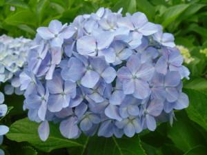 アジサイ薄い青