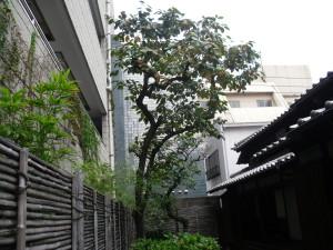 裏庭の見事な柿の木